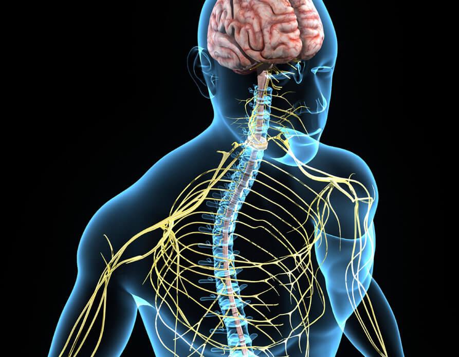 kroppens nervesystem