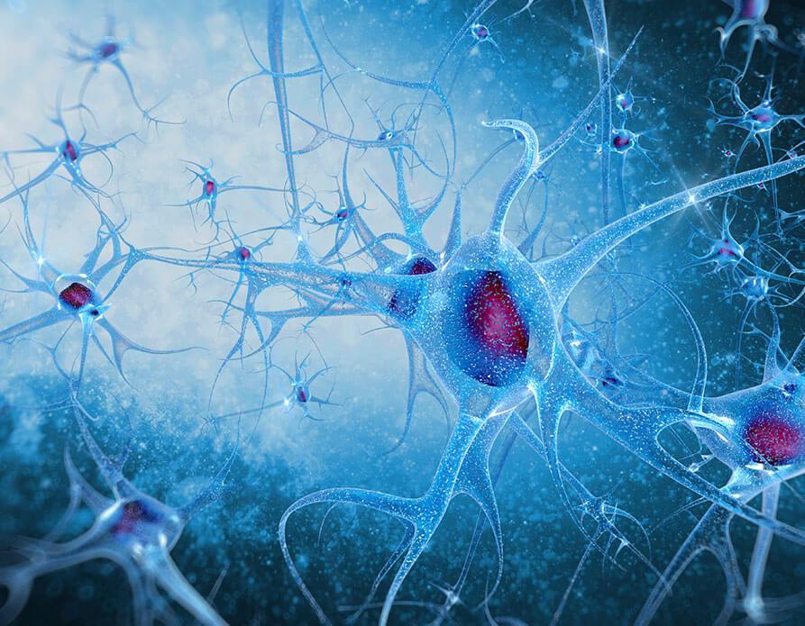 nervesystemet_img2